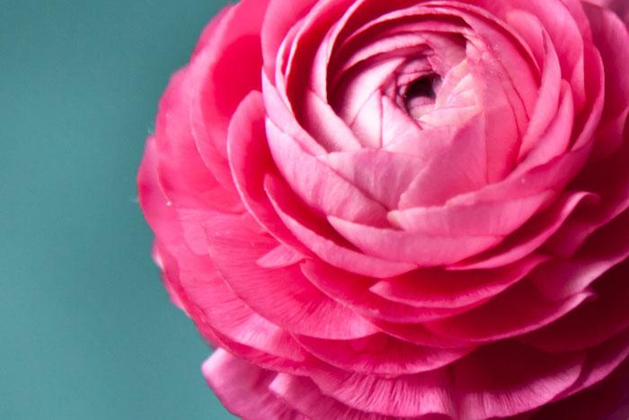 fotografia artystyczna różowego kwiata