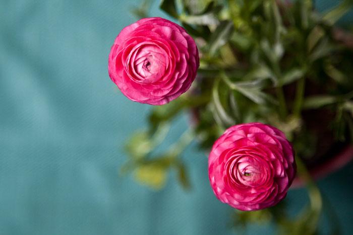 Różowy jaskier na fotografii