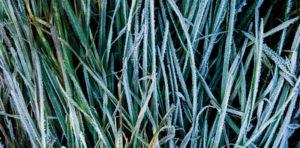 fotografia artystyczna oszronionej trawy, zbliżenie na listki