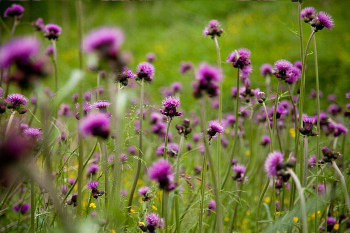 fioletowe osty na fotografii