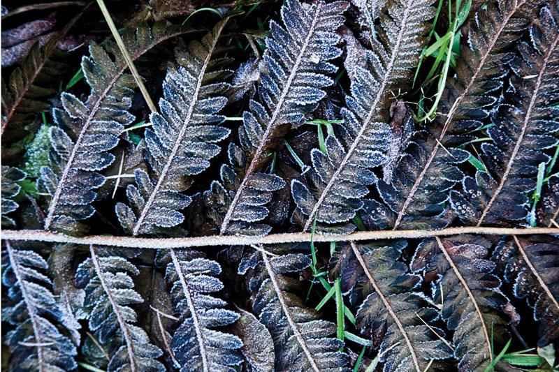 fotografia artystyczna natury, zbliżenie na oszronione listki paproci