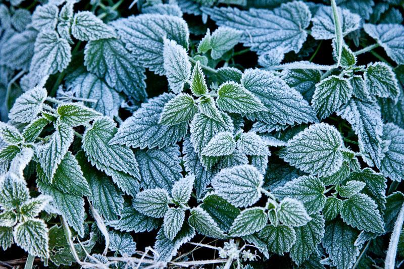 fotografia artystyczna pokrzywy w zimie, oszronionej